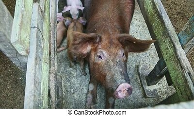 top view closeup at many little piglets playing next to ...