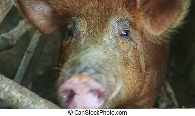 top view closeup big sad ginger domestic pig snout looks at camera behind wooden rustic fence in dirty swine paddock