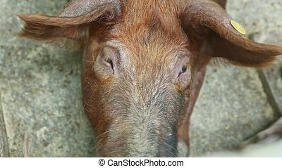 top view closeup brown domestic sow snout looks at camera resting next to little young piggies running around in dirty swine paddock