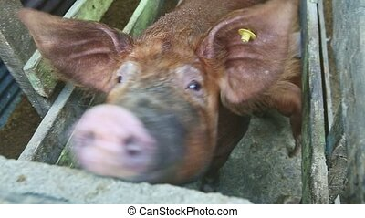 top view closeup small piglets drink mother milk from large ...