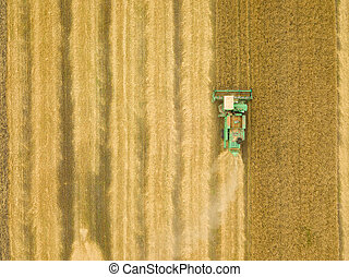 Top view combine harvester gathers the wheat at sunset. Harvesting grain field, crop season