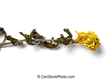 top view faded yellow chrysanthemum flower on white background