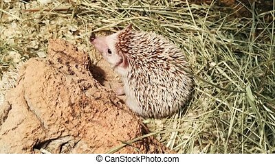 Top view hedgehog is sniffing intensively. Close up.