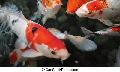 Top view koi fish pond