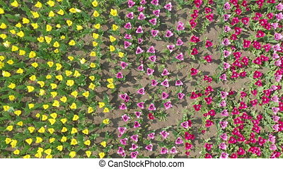 Top view. multicolored tulip heads from above as they sway...