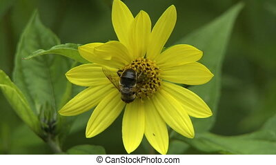 Top view of a bee on a daisy