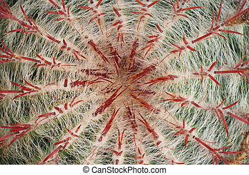 Top view of a cactus