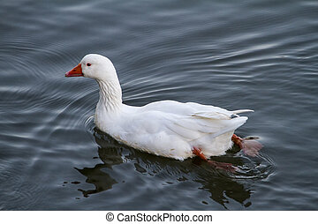 white duck swimming on a pond