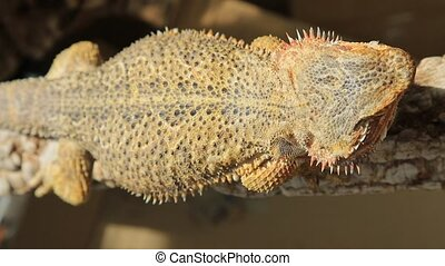 top view of bearded Dragon - top view of Bearded Dragon,...