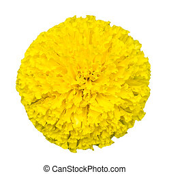 Top view of beautiful isolated marigold flowers(Tagetes erecta)