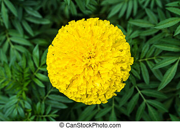 Top view of beautiful marigold flowers and leaf