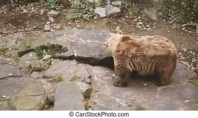 Big Male Brown Bear. Bear Walks Near Rock Stones. European...