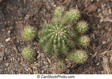 Top view of cactus