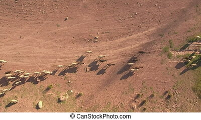 Top view of cattle at dusk, areal view,