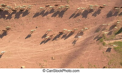 Top view of cattle at dusk in a row
