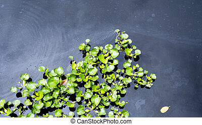 Top view of common water hyacinth floating on the wastewater surface