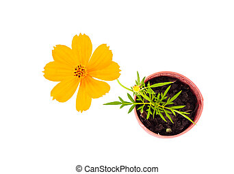 Top view of cosmos flower stalk stick to soil in small flower po