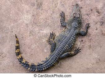 top view of crocodile in farm