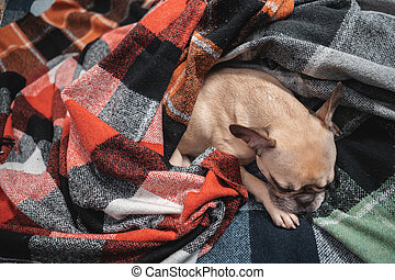 top view of cute french bulldog dog resting wrapped in plaid on sofa at home