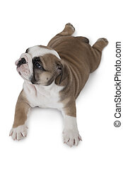 Top view of English Bulldog puppy isolated on white ...