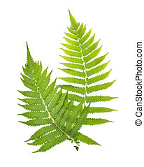 Top view of Fern on white background