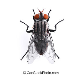 top view of fly isolated on white background
