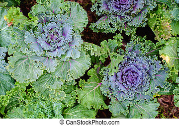 Top view of fresh ornamental cabbage in the garden