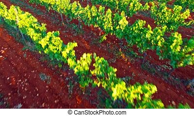 Top view of grape's bushes - Top view of grape's field....