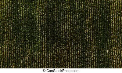 Top view of green field. Rows of crop. Homeland feeds us...
