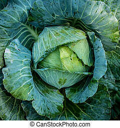 Top view of green lettuce