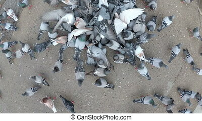 Top View of Huge Flock of Pigeons Eating Bread Outdoors in the City Park