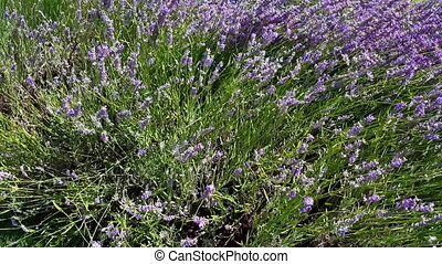 Top view of lavender flowers swinging in the wind under the bright sunshine. Field of lavender flowers swinging in the breeze.