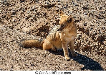 Top view of little fox in Atacama desert, Chile