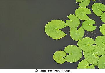 top view of lotus leaf in pond