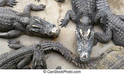Top view of Many Crocodiles Lies on the Ground. Crocodile...