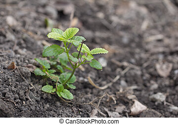 top view of mint plant in soil