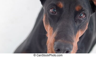 Top view of muzzle of Doberman - Waiting for you. Top view...