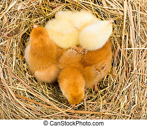 Top view of newborn chickens in hay nest