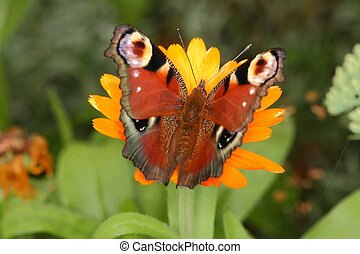 Top view of peacock butterfly sitting on yellow blossom and nibbling