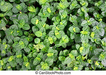 Top view of peppermint leaves background