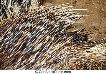 Top view of porcupine spines