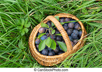 top view of ripe plums in wicker basket on green grass