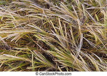 Top view of ripening barley on a field, close-up