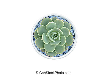 Top view of small cactus isolated on white background