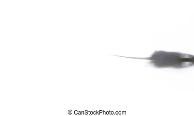 Small mouse running, view from above over white background
