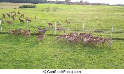 Top view of the grazing deers in captivity. Aerial survey -...