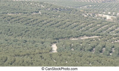 Top view of the huge olive groves that grow on the dry...