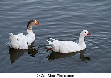 two white ducks swimming on a pond