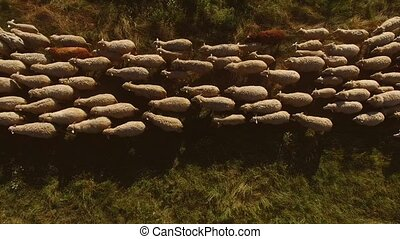 Top view of walking sheep. Sheep on green meadow. Animals...