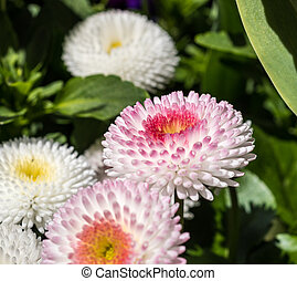 Top view of White Chrysanthemum flower on green background